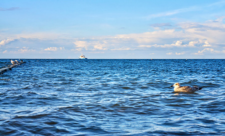 Seagull swims in the waves of the Baltic Sea. Mecklenburg-Vorpommern Standard-Bild - 115630122