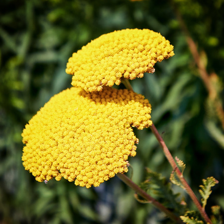 close up of bunch of yellow garden Achillea filipendulina 'Cloth of Gold'