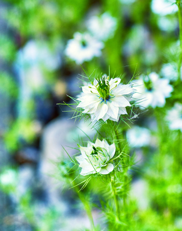Close up of Nigella damascena with white flowers.