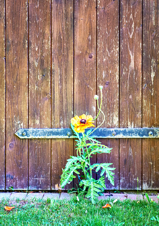 Wooden door with red poppy. 免版税图像