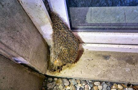 Dead hedgehog caught in a basement window.