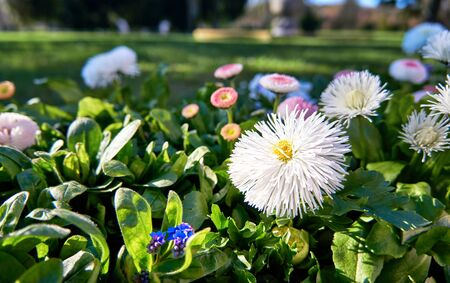 White daisies in spring with blurred background. (Bellis perennis)