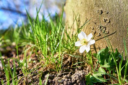 Anemone in front of an old tree with blurred background. (Anemone nemorosa) 写真素材