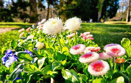 Colorful daisies in spring with blurred background. (Bellis perennis) 版權商用圖片