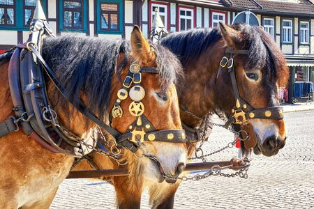 Two brown horse heads from a carriage driving tourists. Center of the city Wernigerode. Saxony-Anhalt, Germany