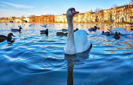 Swan and ducks feeding on the Pfaffenteich in Schwerin. Cygnus olor.