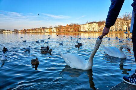 Hand feeds a swan at the Pfaffenteich in Schwerin. Cygnus olor.