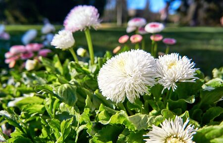 Countless white daisies with blurred background. (Bellis perennis)