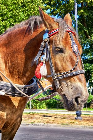 Horse head with traditional harness for a carriage ride. Фото со стока