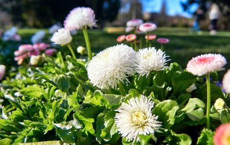 Beautiful daisies in spring with blurred background. (Bellis perennis) Фото со стока