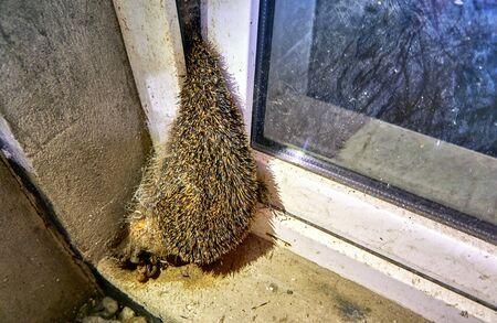 Dead hedgehog stuck in a cellar window.