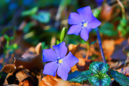 Periwinkle with purple blue flowers and blurred image background. (Vinca minor).