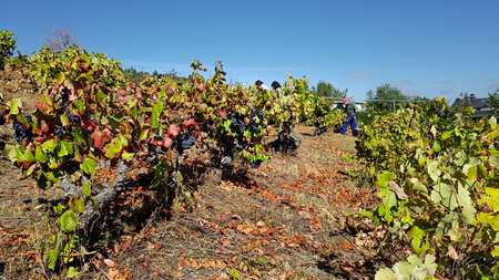 collectors working in the harvest of a vineyard in unevenness. 스톡 콘텐츠
