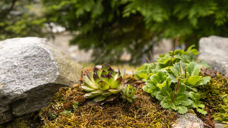 wet mountain and forest plants with moss, rocks and spruce.