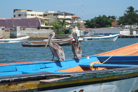 Brown pelicans in Caribbean sea next to the tropical paradise coast, Venezuela.