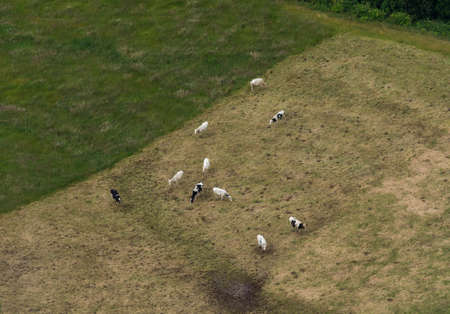 Aerial shot of cows grazing in a pasture field in Azores Stock Photo