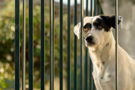 Black and white cute dog behind a green fence, looking into the distance. Warm light