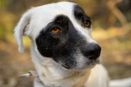 Cute black and white dog looking at the distance. Cute expression. Colorful background. Imagens