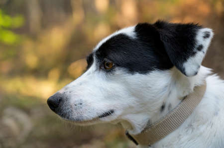 Cute black and white dog looking at the distance. Side view. Colorful background.