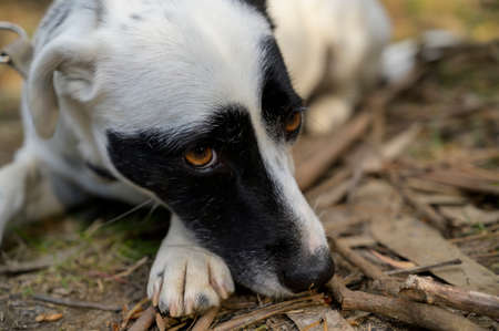Cute black and white dog lying on the floor. Sad/cute expression. Colorful background.