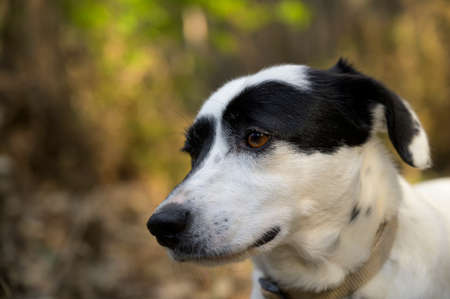 Black and white dog looking at the distance. Cute expression. Colorful background.