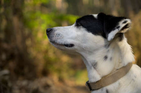 Cute black and white dog sniffing with eyes closed. Side view. Colorful background.