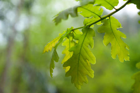 Green oak leaves. Smooth background.