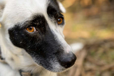 Cute black and white dog looking at the camera. Cute expression. Colorful background.