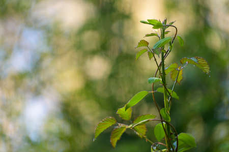 Strait bramble branch, growing up. Colorful smooth background. Green leaves. Imagens