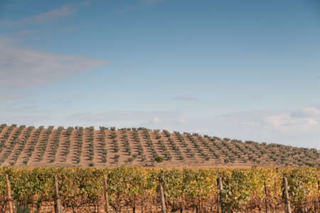 olive groves: Olive groves and vineyards