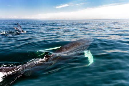 scotia: Humpback whale in Nova Scotia