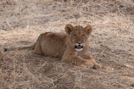 lurk: Lion Stock Photo