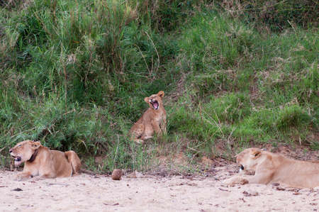 jovial: Lion Stock Photo