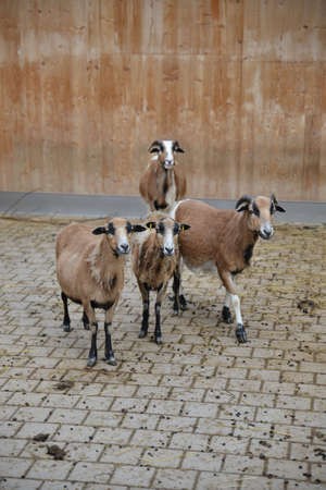 close together: Goat standing close together four animals