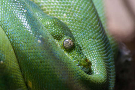 jungle animal: a green mamba curled Portrait