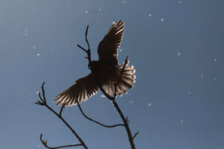 backlight: hawk in flight with backlight