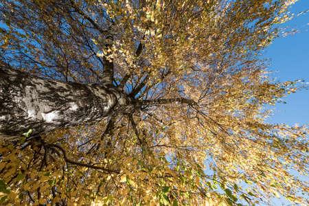 Autumn Birch Tree Leave Sky. Standard-Bild