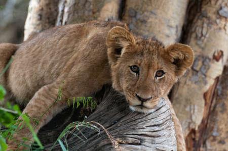 lion on tree zoo nature. Standard-Bild