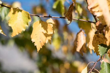 birch leaves closeup autumn nature. Stock Photo