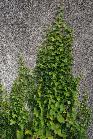 ivy wall leaves green nature.