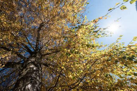 Autumn Birch Tree Leave Sky. Stock Photo