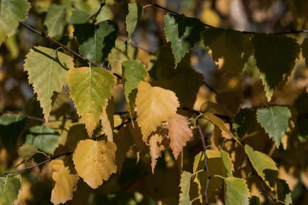 birch leaves closeup autumn nature. Standard-Bild