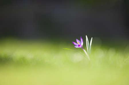 crocus purple flower grass garden. Standard-Bild