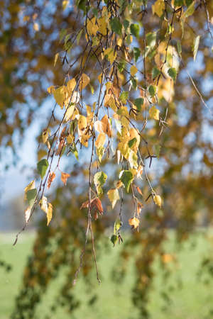 branch autumn tree birch sky.
