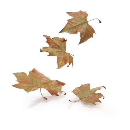 Cuatro hojas que caen en el fondo blanco. Camino de recortes en las hojas