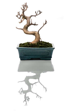 Bonsai tree dried in a pot and a sugestive reflection photo