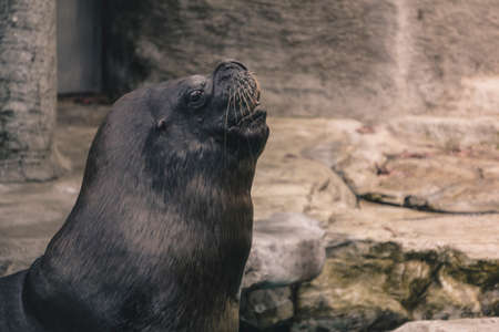 Sea lions are pinnipeds characterized by external ear flaps, long foreflippers, the ability to walk on all fours, short, thick hair, and a big chest and belly.