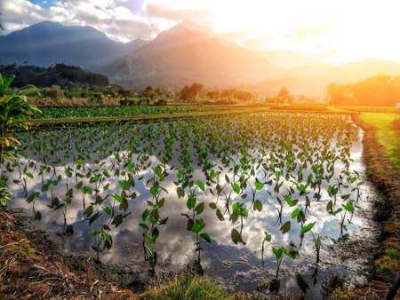 Beautiful taro field with some plants in Kauai. Photo taken during sunset with amazing reflection. 版權商用圖片