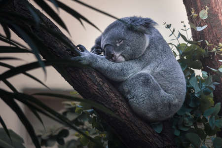 Koalas typically inhabit open eucalypt woodlands, and the leaves of these trees make up most of their diet.