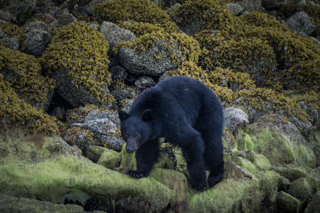 The most incredible coastline for viewing black bears close Tofino in Canada. Bears looking for food during low tide.